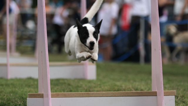 Sat, 8/24 - AKC Flyball